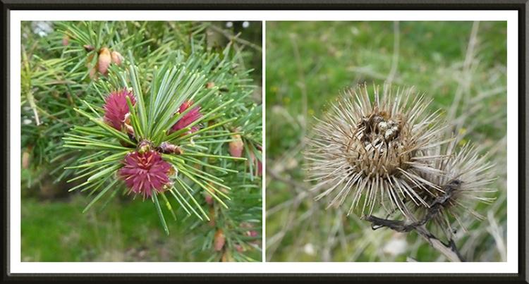 pine blossom
