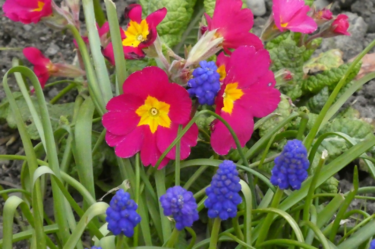 primrose and grape hyacincths