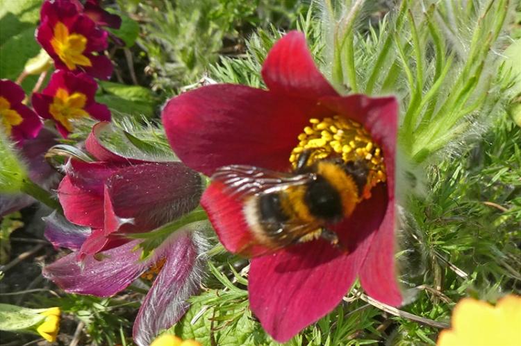 pulsatilla with bee