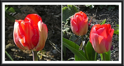 red tulips evening