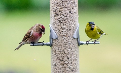 redpoll and siskin munching