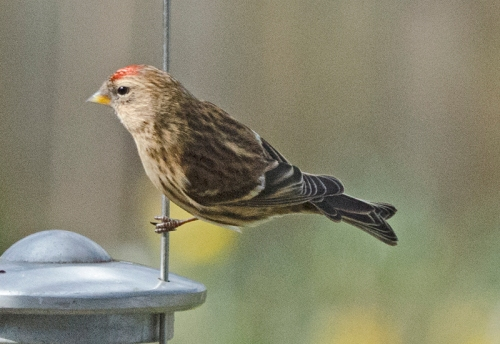 redpoll on tio of feeder