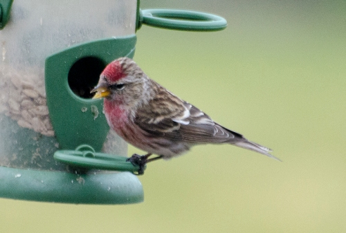 redpoll with red breast