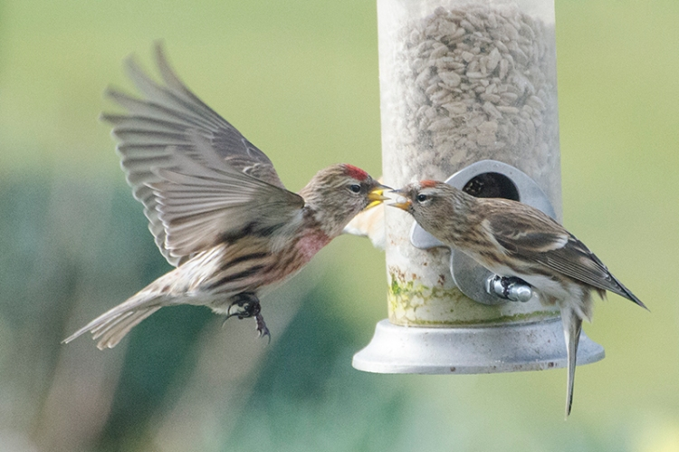 redpolls beak to beak