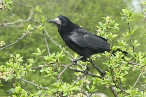 rook in plum tree