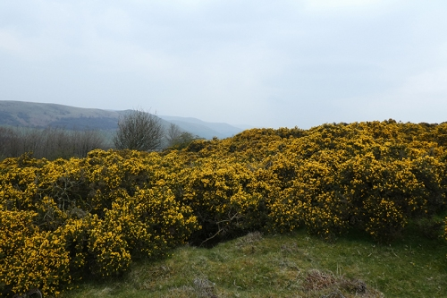 sea of gorse whita well