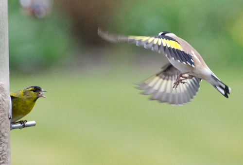 siskin blows goldfinch away