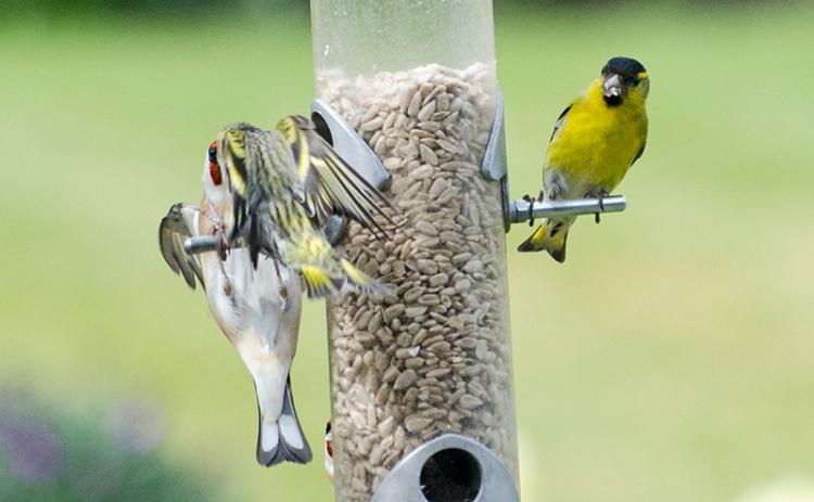siskin goldfinch eyeball