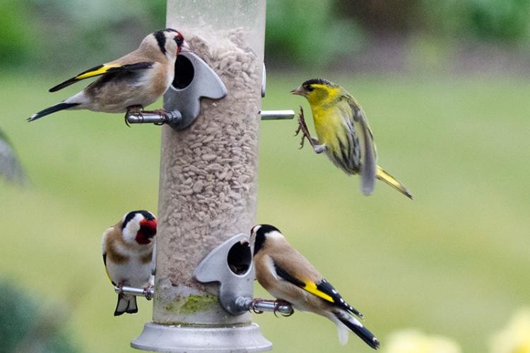 siskin landing among goldfinches