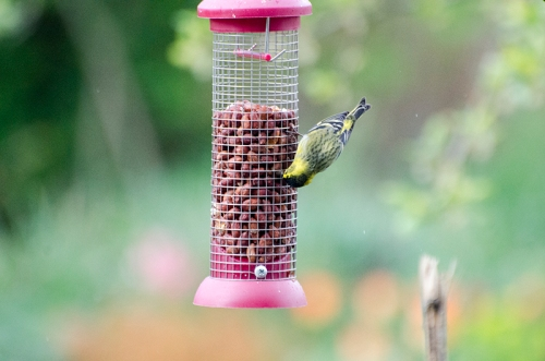 siskin on peanuts