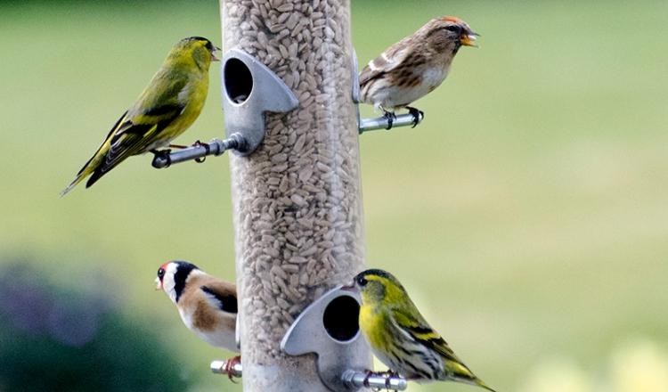 siskin, repoll goldfinch