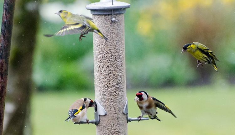 siskins coming anf going