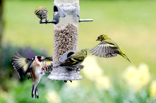 siskins in conflict