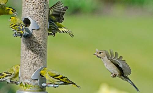 siskins on feeder