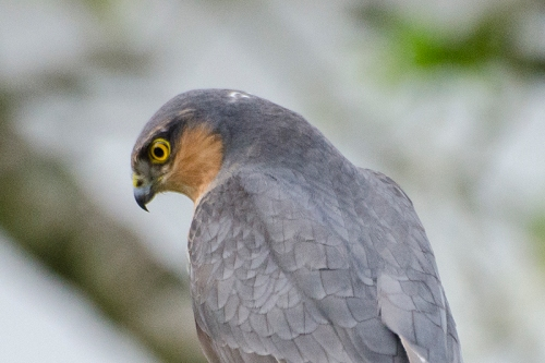 sparrowhawk staring