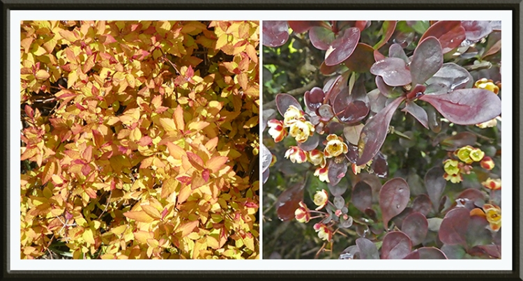 spirea and berberis