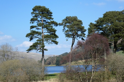 St Mary's Loch pines