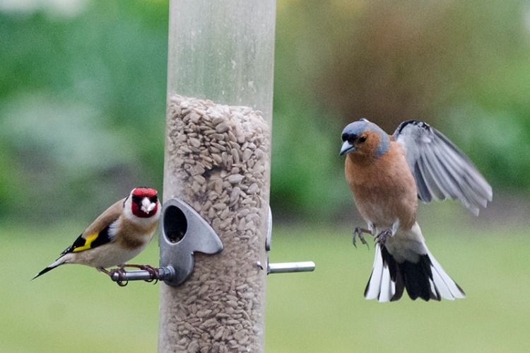 stately chaffinch arriving.