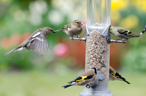still life goldfinch and chaffinch and siskin