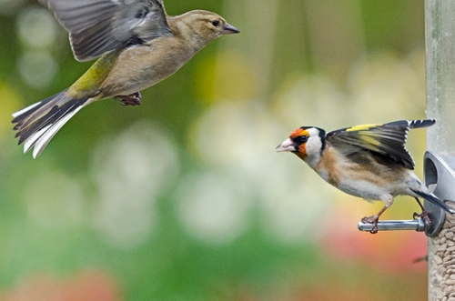 still life goldfinch and chaffinch