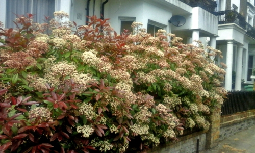 susan's hedge
