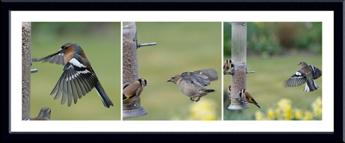 three chaffinches approaching from windward