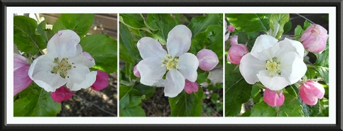 three espalier apple blossom