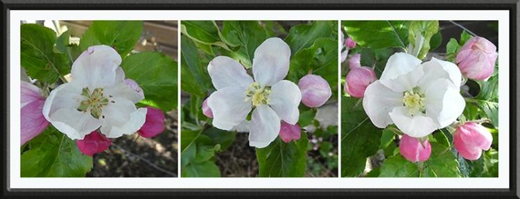 three espalier apple blossom