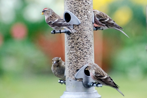 three redpolls