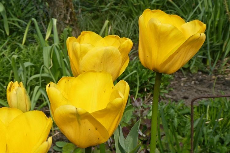 three yelow tulips