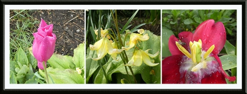 tulip and trout lily