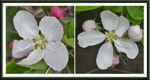 two apple blossoms