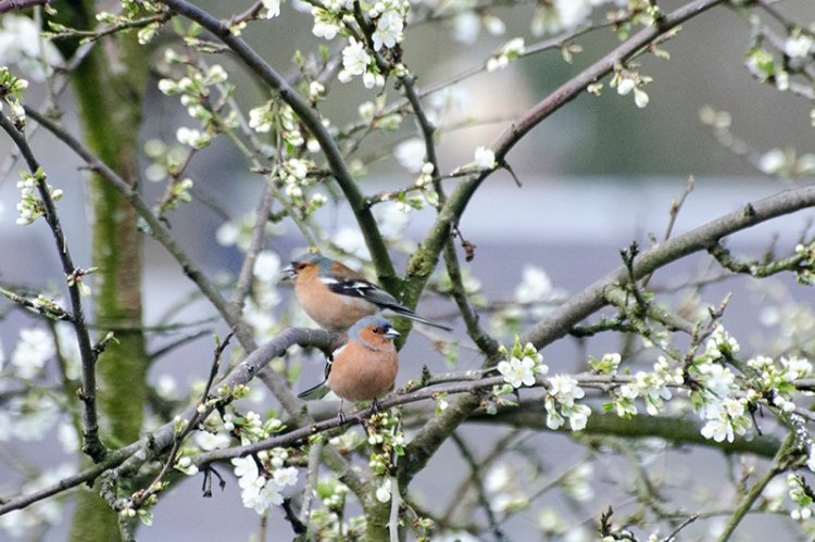 two chaffinch with plum blossom