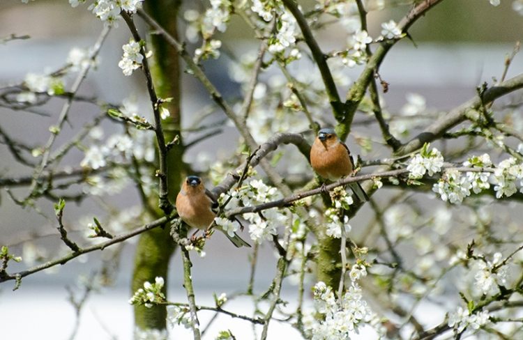 two chaffinches plum blossom