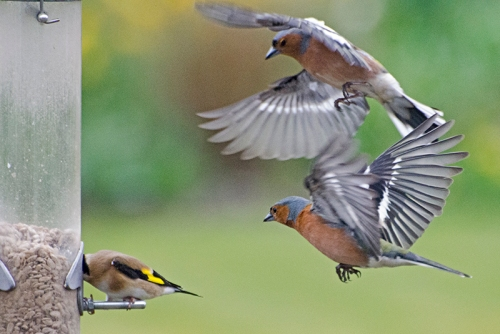 two chaffinches threaten goldfinch