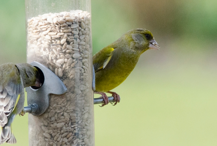two greendfinches