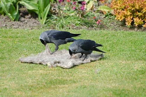 two jackdaws pecking wool
