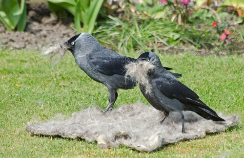 two jackdaws with wool