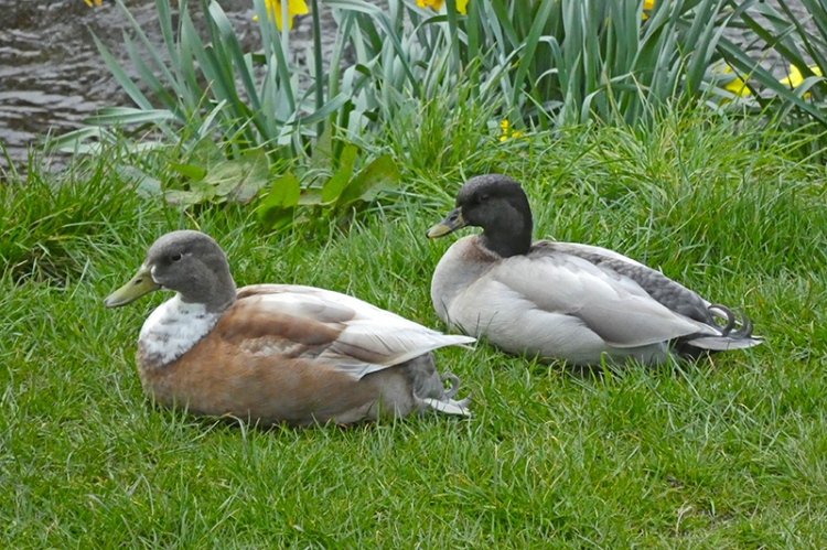 two odd ducks