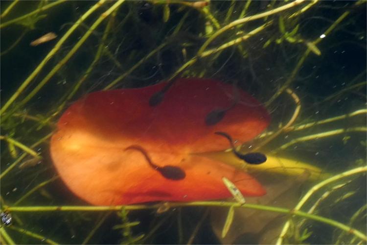 two tadpoles