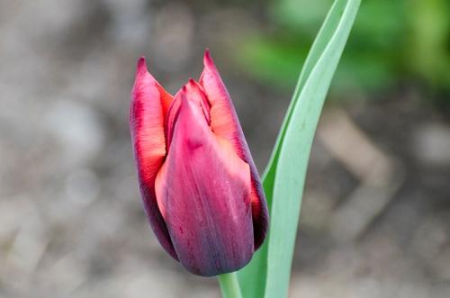 unopened tulip