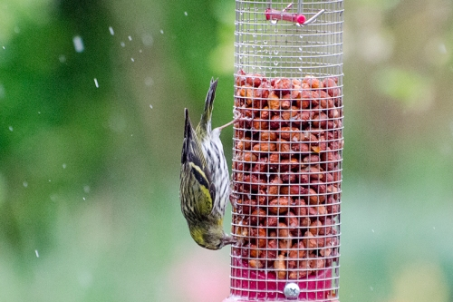 upside down siskin on peanuts