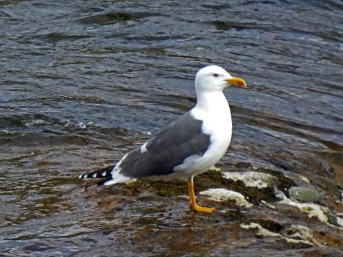 upstanding gull