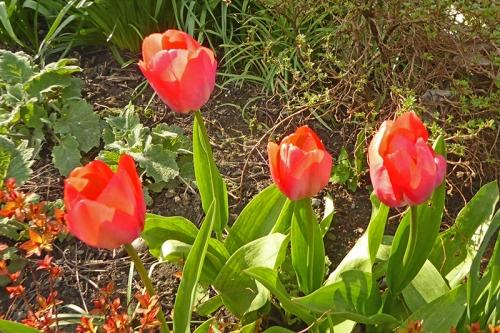 Van Eijk tulips