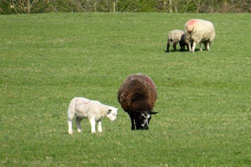 variegated lambs
