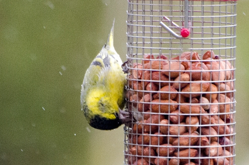 vertical siskin on nuts down