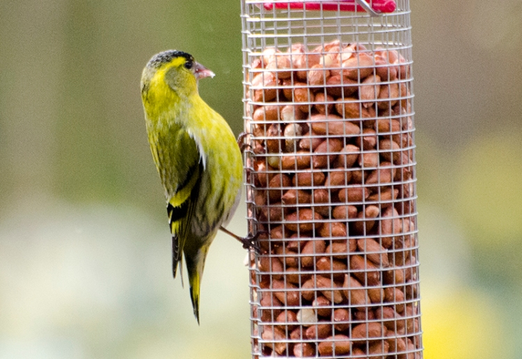 vertical siskin on nuts up