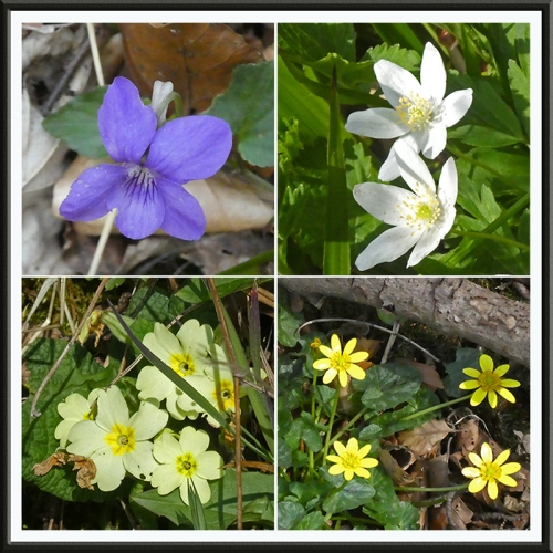 violet, anemone, primrose and celandine