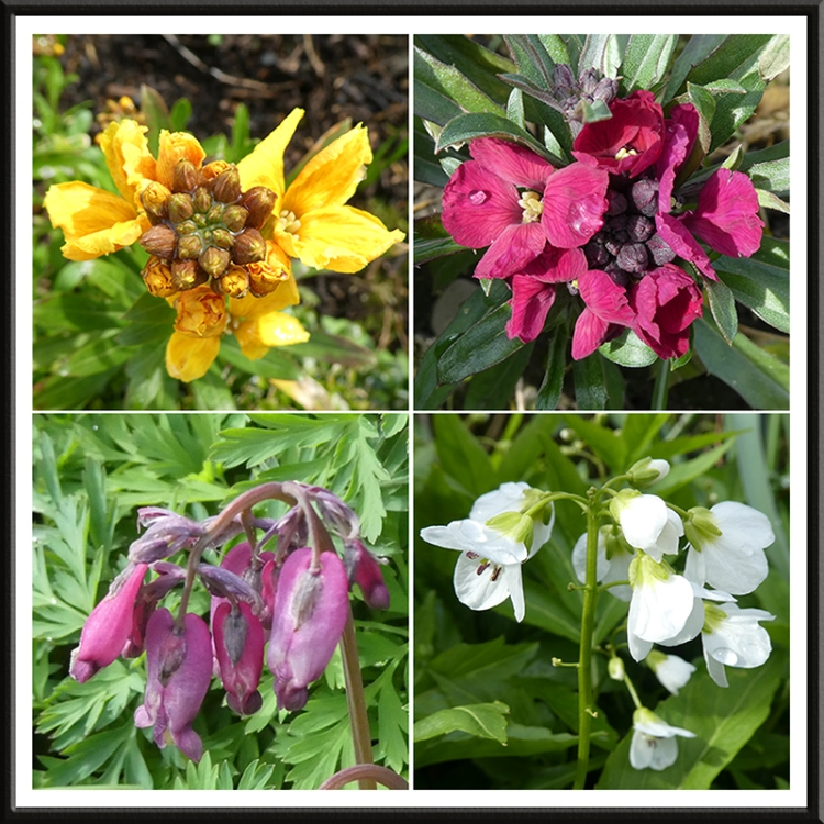 wallflowers, dicentra, cardamine