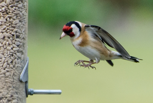 well aligned goldfinch